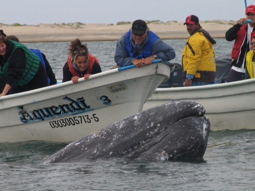 Gray Whales birthing....all in Baja.